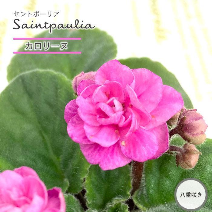 予約販売 セントポーリア カロリーヌ 9cmポット 八重咲き 鉢花 オプティマラ種 おしゃれ 25%OFF インテリアグリーン 11月中旬以降発送 skf