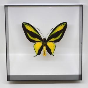 蝶の標本 ゴクラクトリバネアゲハ O.paradisea  ブラックフレーム
