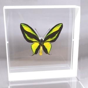 蝶の標本 ゴクラクトリバネアゲハ O.paradisea ホワイトフレーム