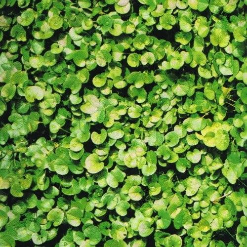 【種子】 ダイカンドラ 福花園種苗のタネ|lovesmiletenn