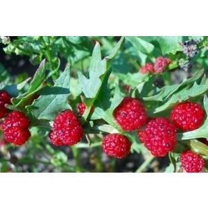 最新 出荷 珍しい イチゴほうれん草 20粒 種