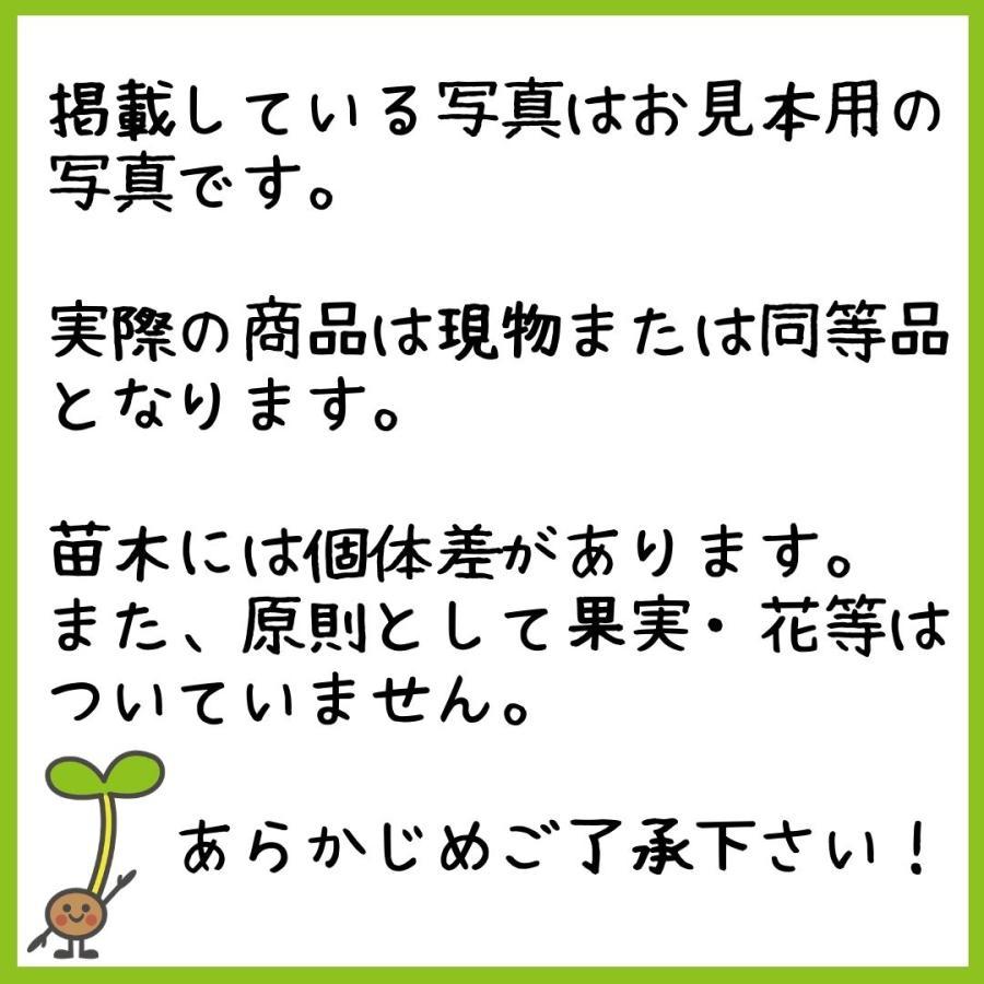 パイナップル苗木 21cmポット|lycheeshop|07