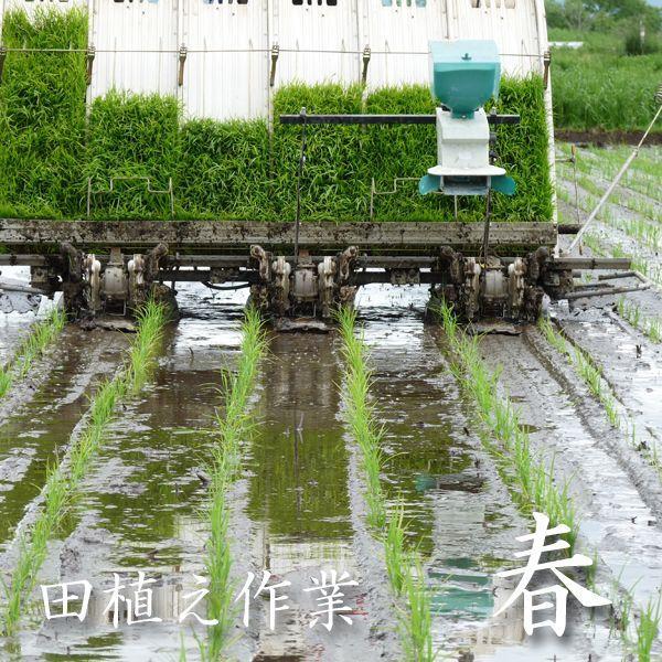 お試し用 精白米 500グラム 青森マエダライスが贈る 産直米 商品代引き不可、メール便配送品 maeda-rice 02