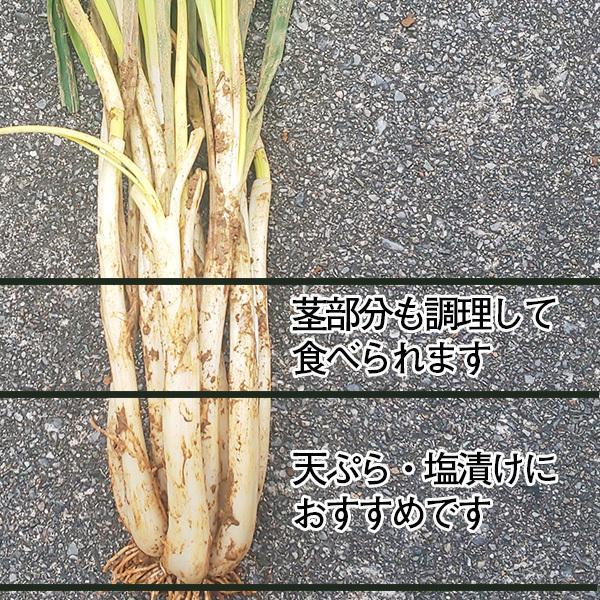 沖縄産 生 島らっきょう ラッキョウ 土付き 1.5kg チルド発送 大小混合 らっきょう 大きさバラバラ|mantenmiyakojima|03