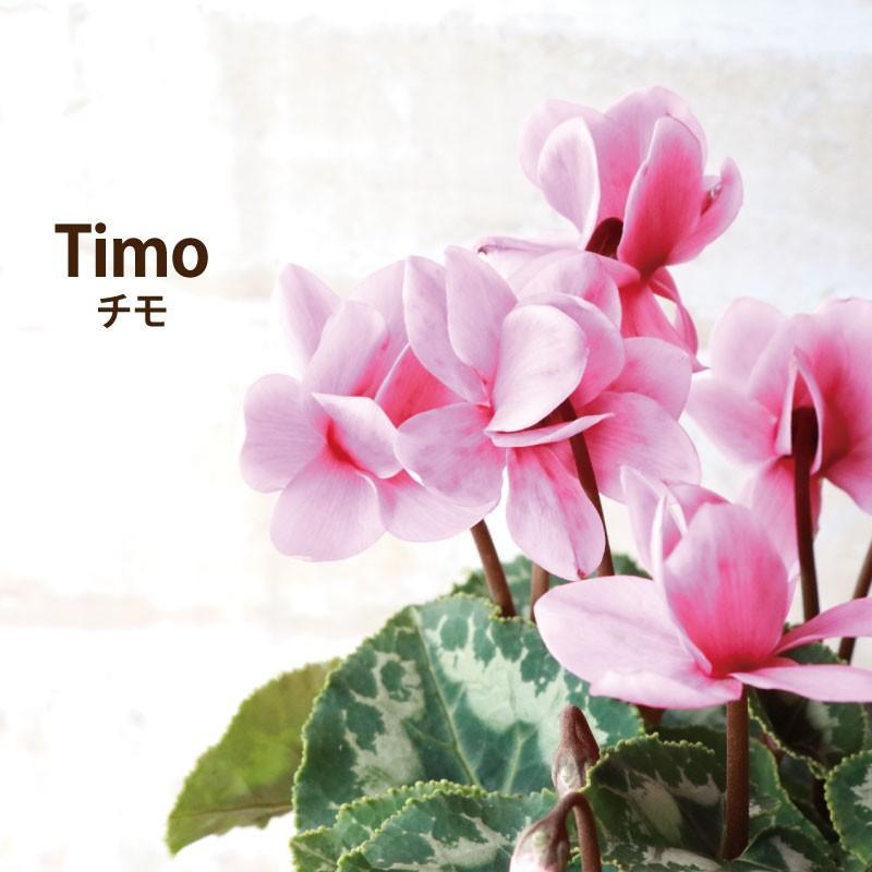 ドラヤキと春まで咲く八重咲きシクラメンチモ』