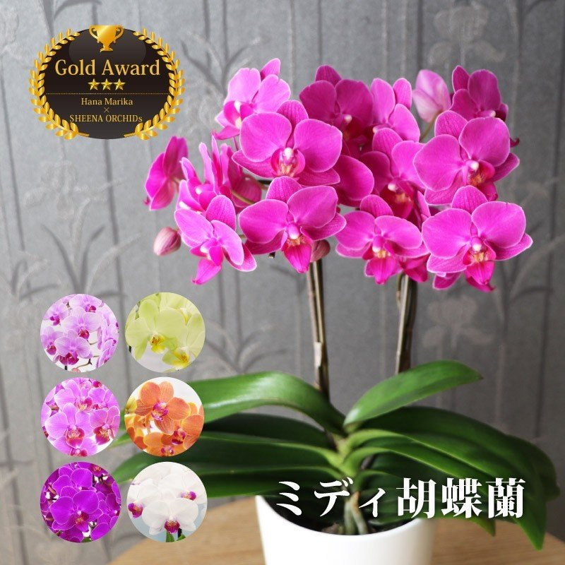 『選べるミディ胡蝶蘭』 花鉢