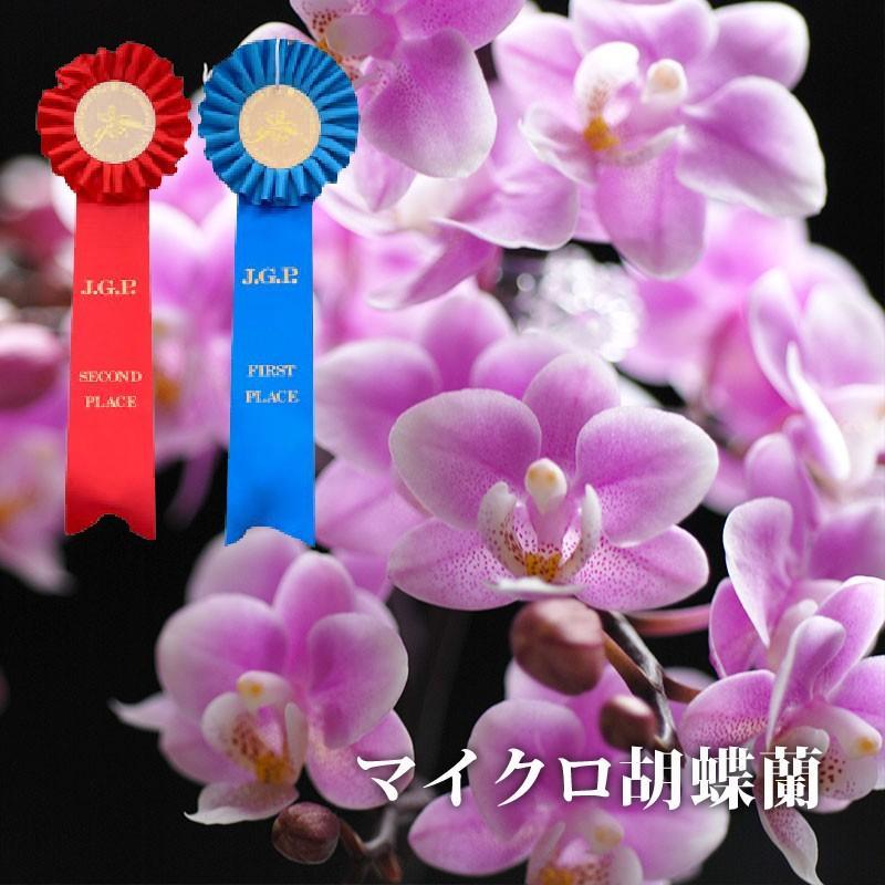 『選べるマイクロ胡蝶蘭・さくらん他』 花鉢