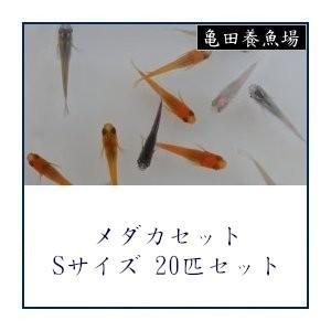 メダカセット お買い得品 Sサイズ20匹セット 最新号掲載アイテム
