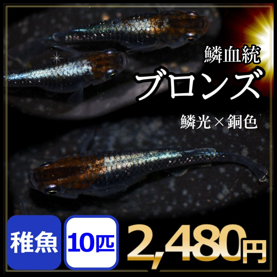 メダカ テレビで話題 ブロンズ 稚魚10匹 鱗光メダカ 在庫あり ブロンズメダカ