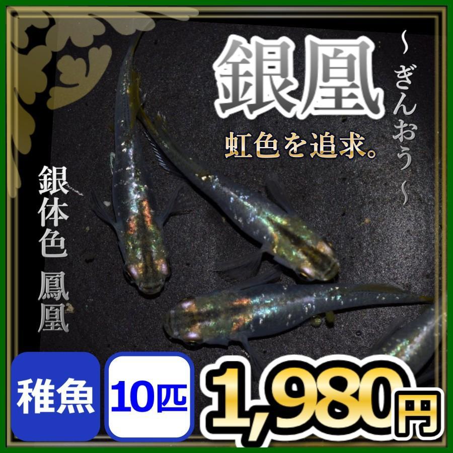 メダカ/ 銀凰めだか 稚魚10匹 /鳳凰メダカ :ginnou10:めだかの市場 ...