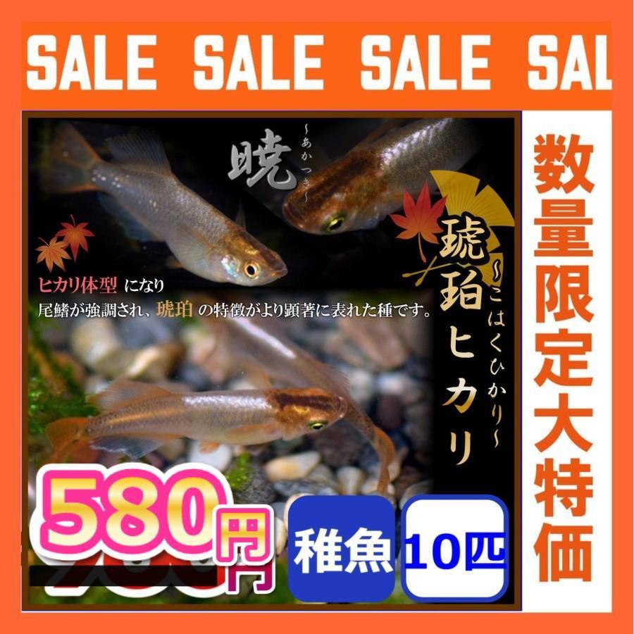 メダカ 琥珀ヒカリめだか 稚魚10匹 国内即発送 セール特別価格 暁メダカ