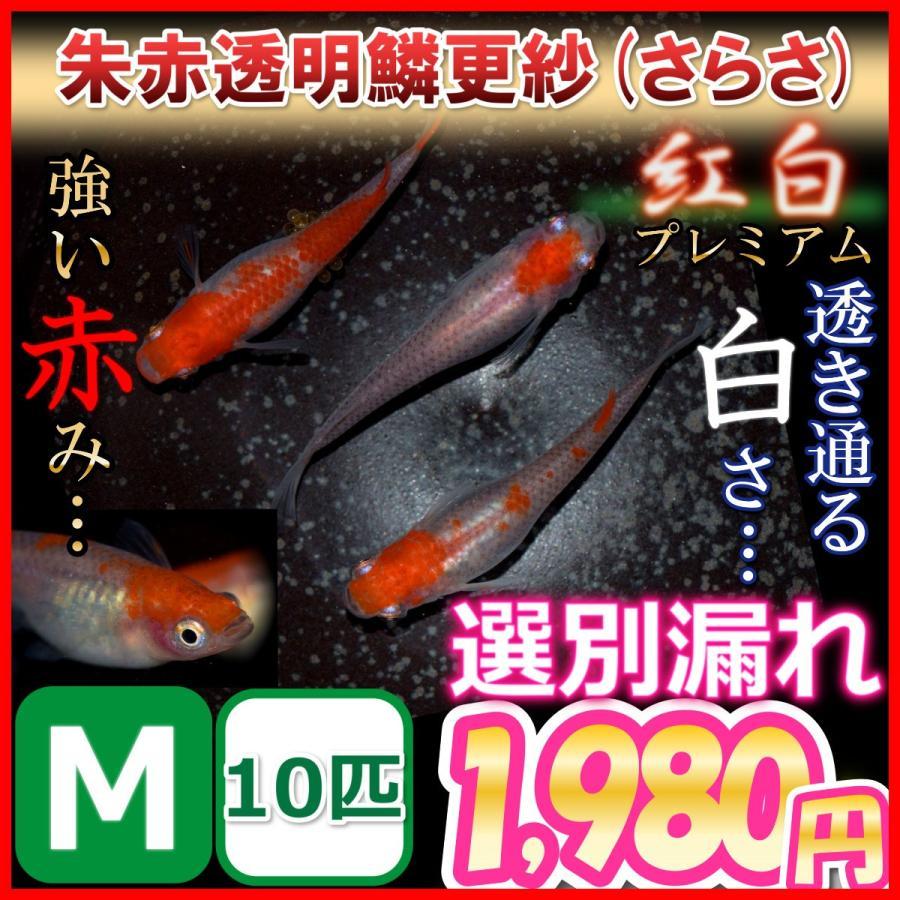 アウトレット☆送料無料 メダカ 更紗 !超美品再入荷品質至上! 紅白めだか選別漏れMサイズ10匹