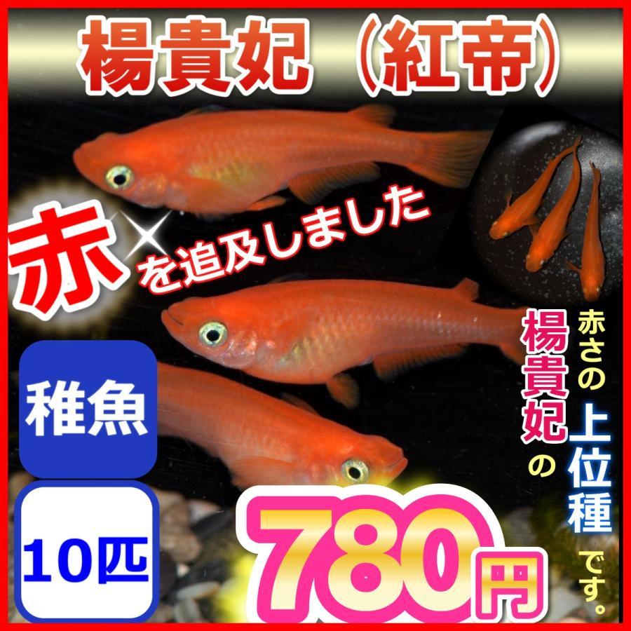 紅帝 楊貴妃メダカ/紅帝 楊貴妃めだか 稚魚10匹|medakanoichiba