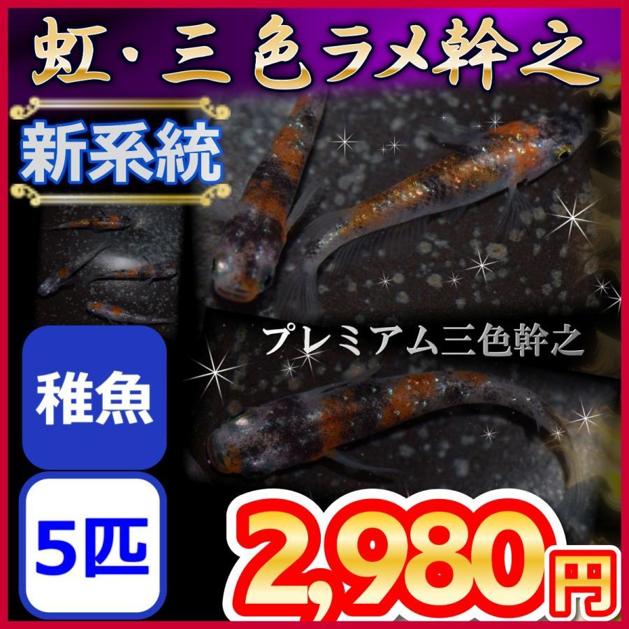 メダカ 記念日 新系統 虹 稚魚5匹 三色ラメ幹之めだか 全国どこでも送料無料