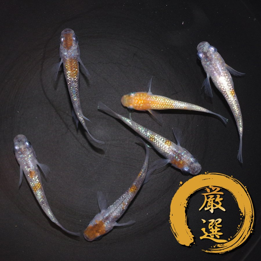 三色極ラメ メダカ めだか (Mサイズ) 3ペア medakarium