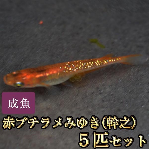 [ギフト/プレゼント/ご褒美] メダカ 赤ブチラメみゆき 幹之 めだか 5匹セット 虹色ラメ 割り引き
