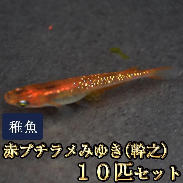 メダカ 赤ブチラメみゆき 幹之 めだか 贈答 虹色ラメ SS-Sサイズ 完全送料無料 10匹セット 未選別 稚魚
