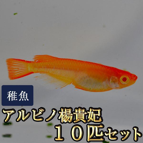 メダカ アルビノ楊貴妃めだか 未選別 稚魚 ご予約品 10匹セット SS-Sサイズ お洒落