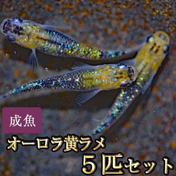 ショッピング メダカ オーロラ黄ラメめだか 値引き 虹色ラメ 5匹セット