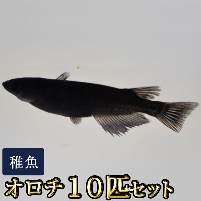 メダカ 専門店 オロチめだか 稚魚 美品 限定大特価 10匹セット SS-Sサイズ