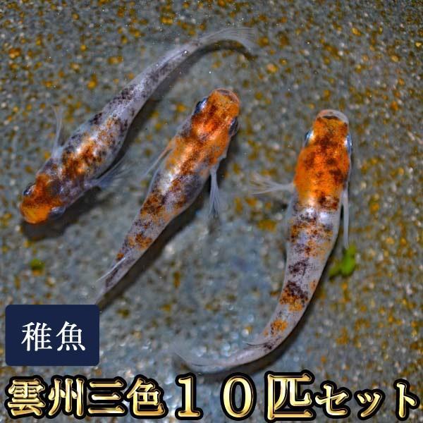 メダカ 雲州三色めだか 未選別 直輸入品激安 予約販売 稚魚 10匹セット SS-Sサイズ