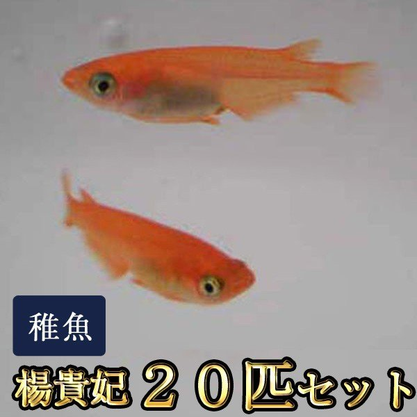 メダカ 楊貴妃めだか 稚魚 20匹セット ストア SS-Sサイズ 楊貴妃メダカ 送料0円