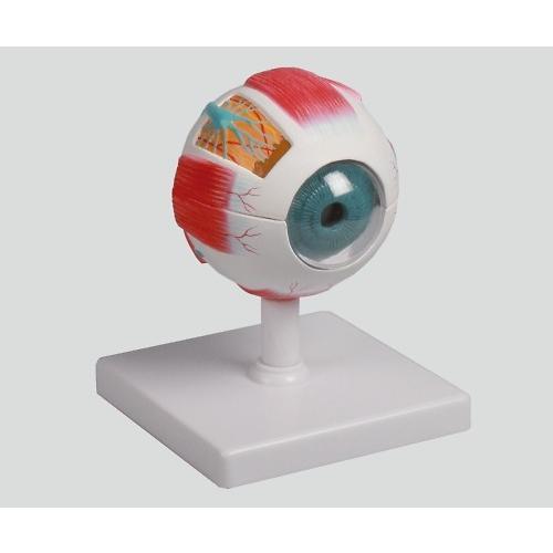 眼球6分解モデル 100x100x120 F210 1個【返品不可】 MeReCare-y - 通販 - PayPayモール