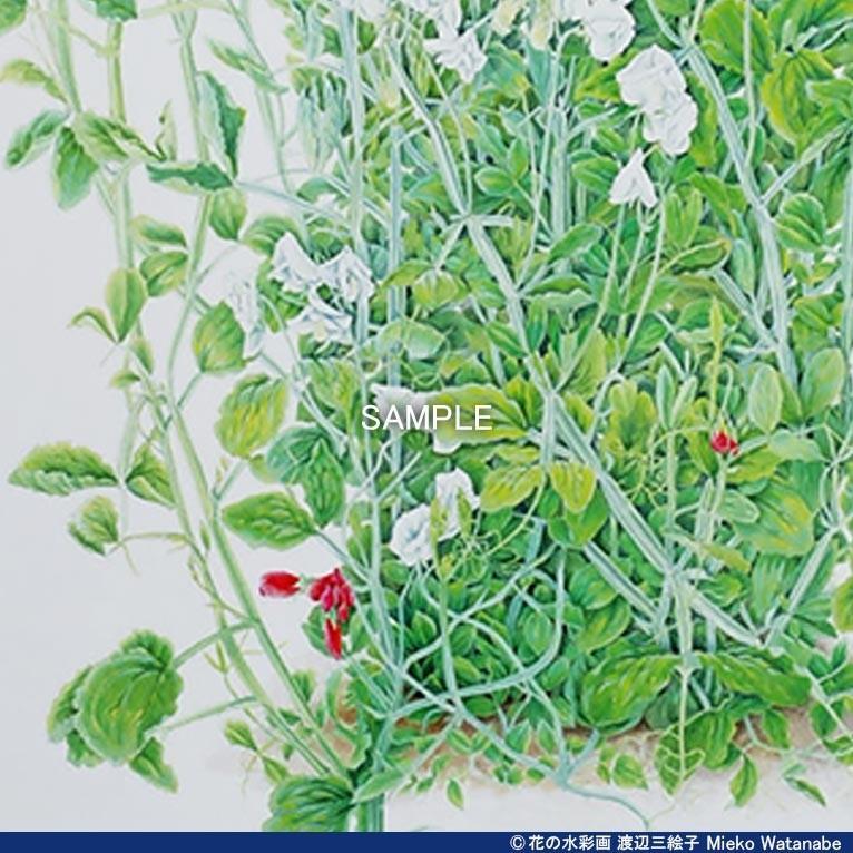 渡辺三絵子 花の水彩画 ジークレー版画(複製画)「スイトピー」額装Mサイズ|mieko-watanabe|08