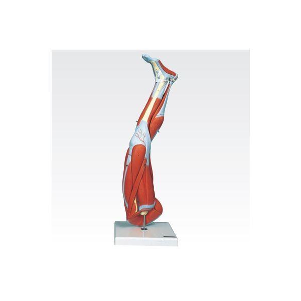 ポイント15倍新型・下肢模型/人体解剖模型 〔9分解〕 J-114-7〔代引不可〕送料無料