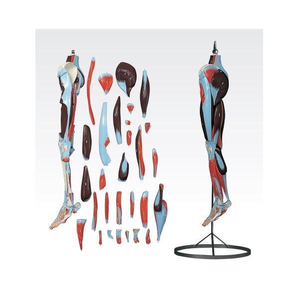 ポイント15倍下肢模型/人体解剖模型 〔30分解〕 J-119-2〔代引不可〕送料無料
