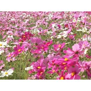 限定タイムセール 景観用コスモス種子 秋咲巨大輪 1kg 混合 公式ショップ