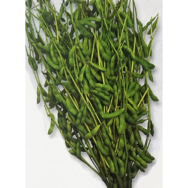 エダマメ種 鶴の子大豆 1L 栽培用 種子 オンライン限定商品 枝豆 商店 えだまめ 生産者向け 大豆 ダイズ