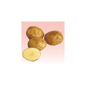 卸売り 9月中旬出荷予定 西豊 ニシユタカ 1kg サイズ混合 秋ジャガイモ種芋 オンラインショップ 栽培用 秋じゃが芋 馬鈴薯 ばれいしょ 検疫合格済