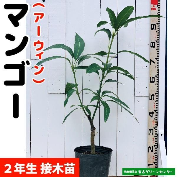マンゴー苗 【アーウィン】接木苗 2年生 21cmポット 熱帯果樹苗|miyakogreencenter