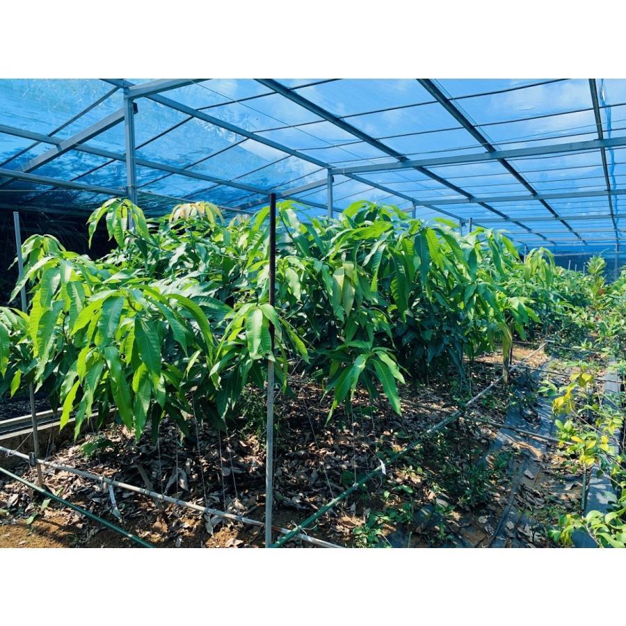 マンゴー苗 【アーウィン】接木苗 2年生 21cmポット 熱帯果樹苗|miyakogreencenter|05