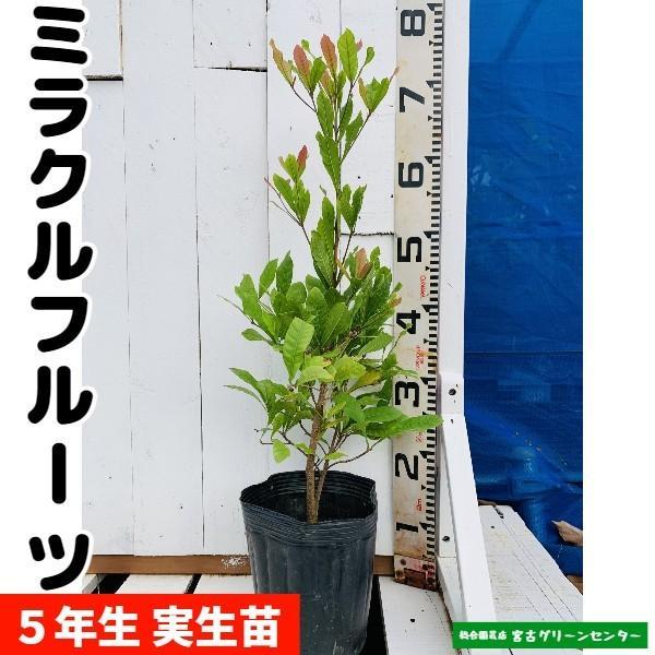 ミラクルフルーツ苗 実生苗 5年生 18cmポット 熱帯果樹苗