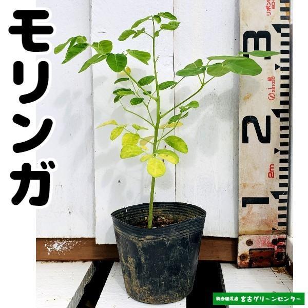 モリンガ苗 10.5cmポット 薬用植物|miyakogreencenter