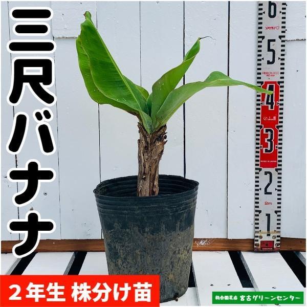 三尺バナナ苗 株分け苗 2年生 21cmポット 熱帯果樹苗|miyakogreencenter