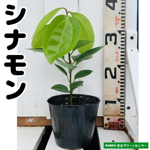 シナモン苗 13.5cmポット 観葉植物