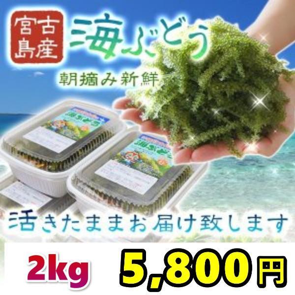 宮古島産(生)海ぶどう2キロ 茎つき(250g×8パック)タレ16袋付
