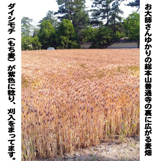 うどん県のダイシモチ(讃岐もち麦)10キロ大袋 (モチモチ美味しくて食物繊維がたっぷりです)|morie|02