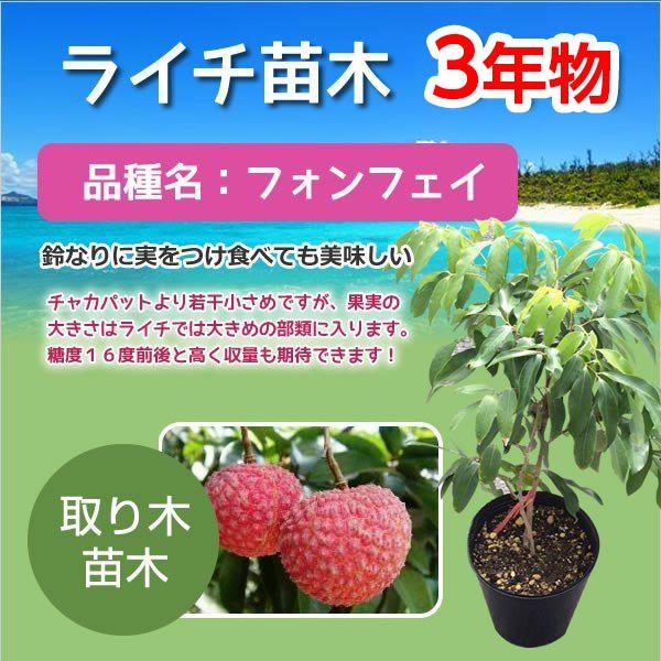 ライチ 苗木 栽培 フォンフェイ 苗 3年もの ホンフェイ テレビで話題 優先配送 取り木