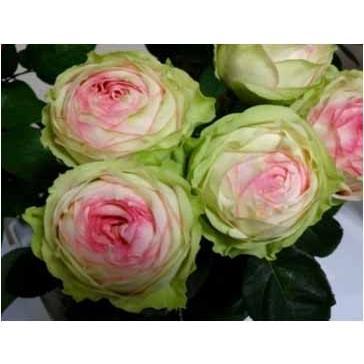 [宅送] 18 バラ苗 タイムセール 切り花品種接ぎ木 アルヌワブラン2〜3号 購入前に下記の重大なコツなどを読んでください