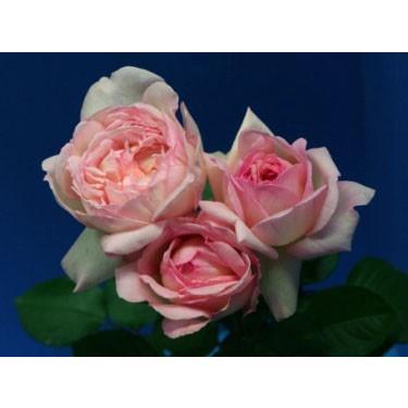 18 NEW 強香 バラ苗 購入前に下記の重大なコツなどを読んでください お得なキャンペーンを実施中 NEW売り切れる前に☆ 切り花品種接ぎ木 アヴェークトワ2〜3号