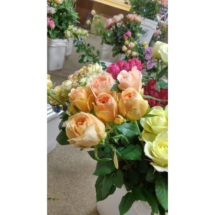 爆売りセール開催中 18 NEW 強香 限定特価 バラ苗 エスポワールトワ2〜3号 切り花品種接ぎ木 購入前に下記の重大なコツなどを読んでください