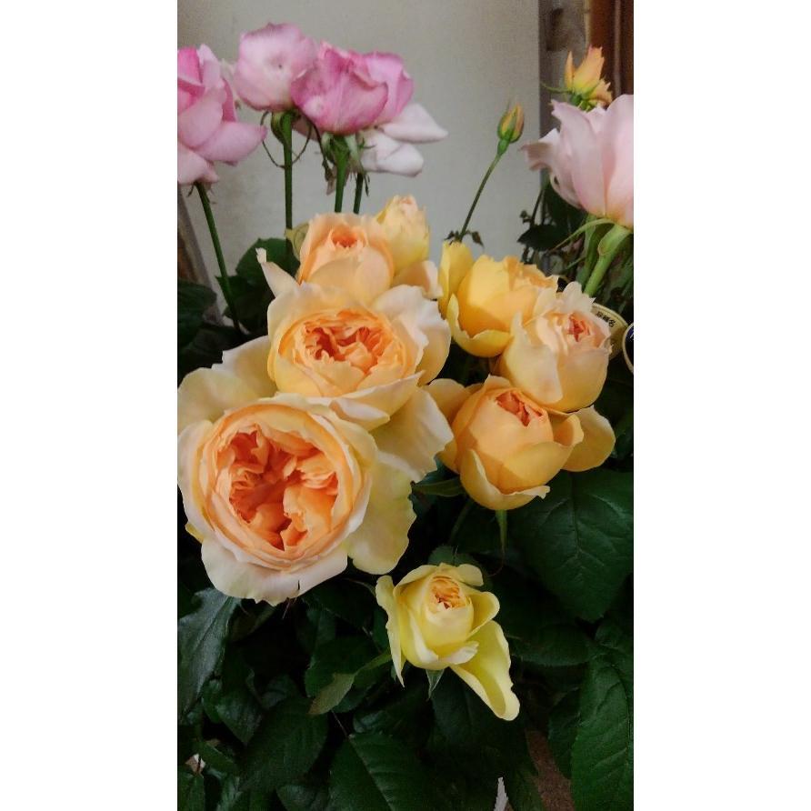 18 NEW 強香 バラ苗 新登場 SALE 切り花品種接ぎ木 購入前に下記の重大なコツなどを読んでください ミクオレンジ 岩田オレンジ 2〜3号ポット