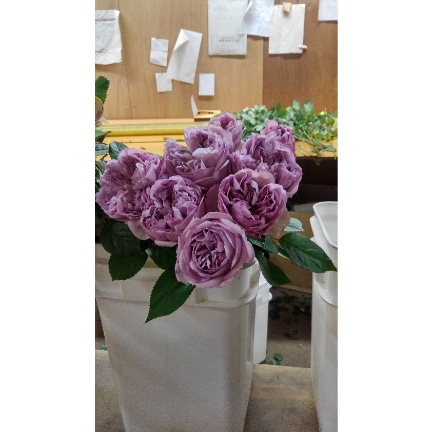 18 NEW 強香 バラ苗 切り花品種接ぎ木 購入前に下記の重大なコツなどを読んでください KN29-70パープル2〜3号 タイムセール 全商品オープニング価格