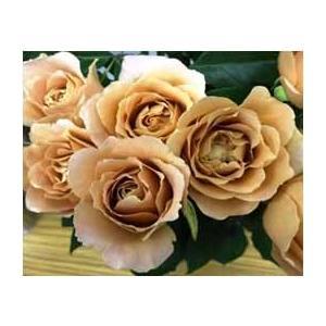 18 バラ苗 日本メーカー新品 切り花品種接ぎ木 購入前に下記の重大なコツなどを読んでください ラフィネポルテ2〜3号 安全