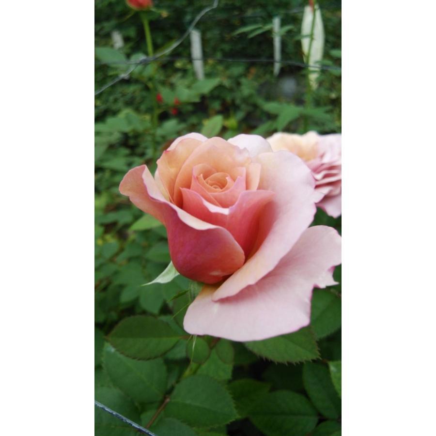19 NEW バラ苗 購入前に下記の重大なコツなどを読んでください 現金特価 KN29−122パープルブラウン2〜3号 切り花品種接ぎ木 セール特価