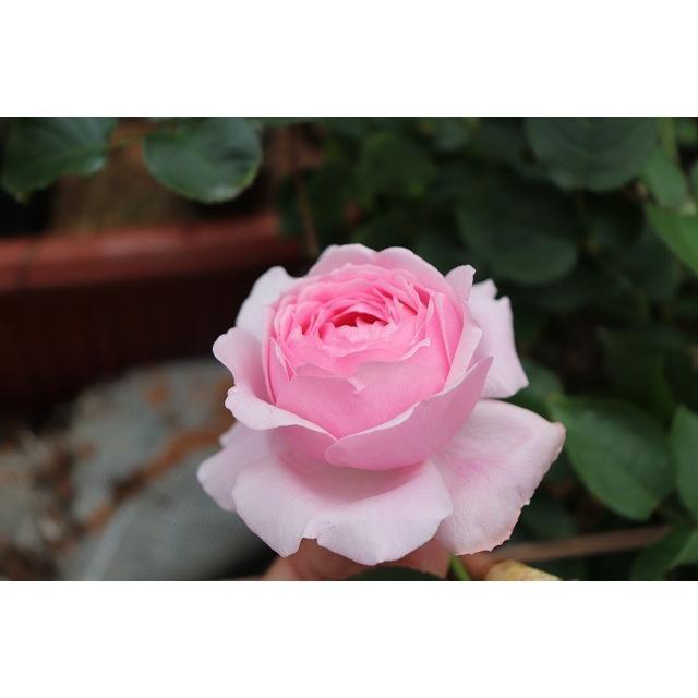 メイルオーダー 19 NEW イブ系 強香 使い勝手の良い バラ苗 切り花品種接ぎ木 kn29−127 2〜3号 購入前に下記の重大なコツなどを読んでください